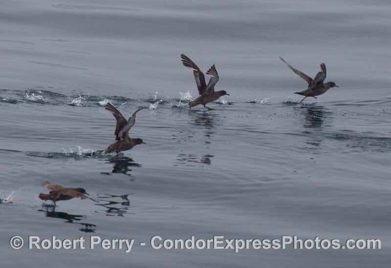 Sooty shearwaters (Puffinus griseus) get a running start towards taking flight.