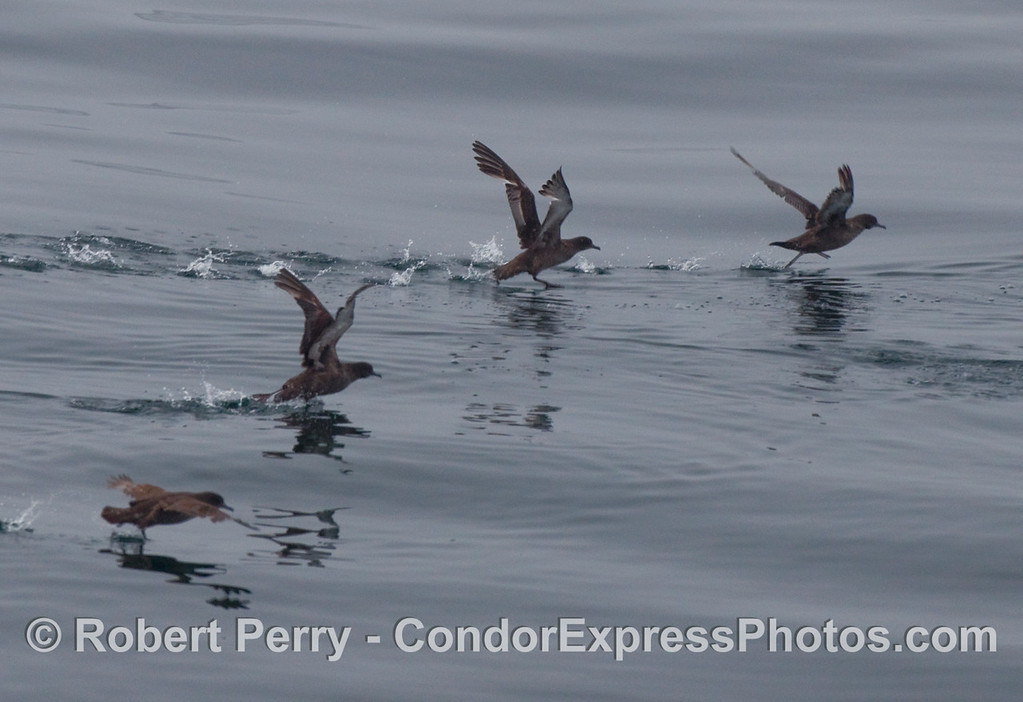 Sooty shearwaters (Puffinus griseus) get a running start towards taking flight.