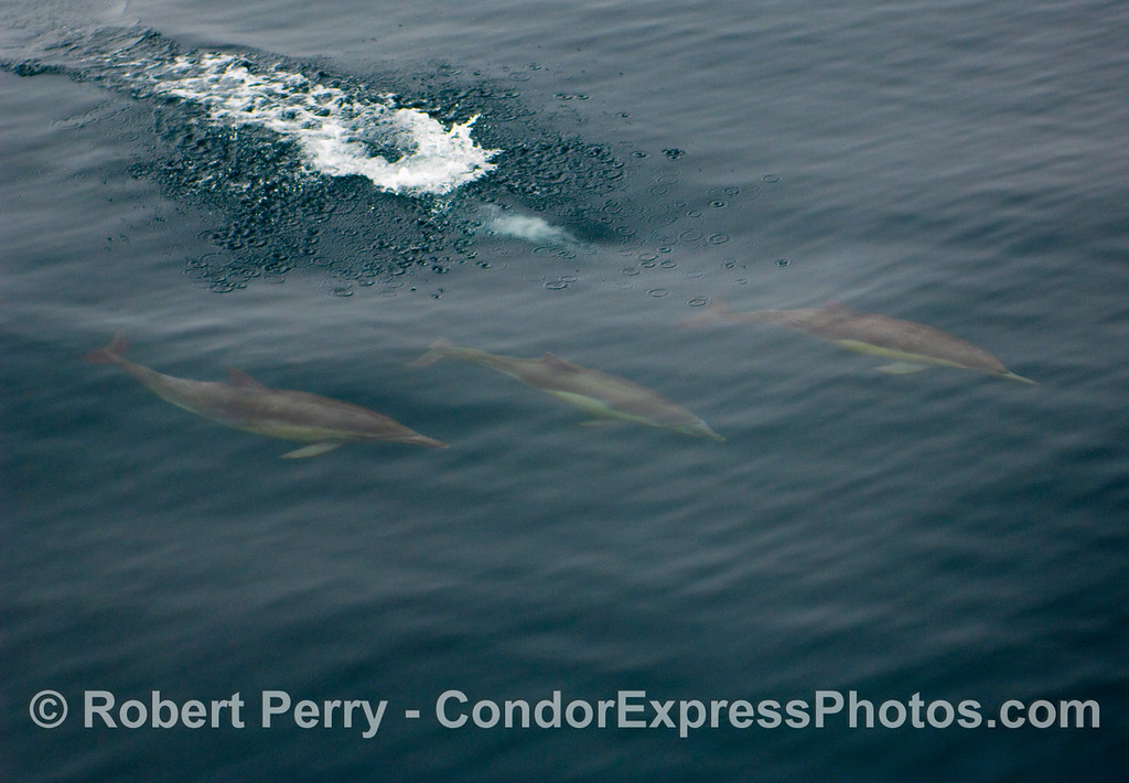 Three c ommon dolphins (Delphinus capensis) take a dive.
