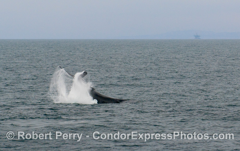 Image 1 of 3:  Humpback Whale, Megaptera novaengliae, tail throwing sequence.