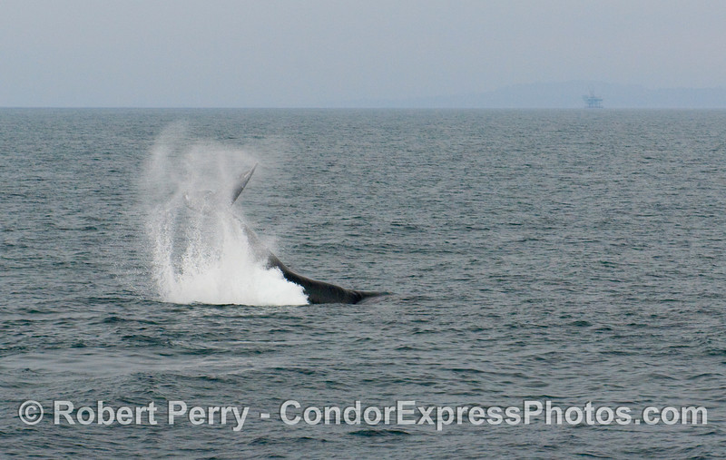 Image 2 of 3:  Humpback Whale, Megaptera novaengliae, tail throwing sequence.