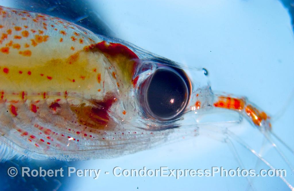 Krill - eyeball - close up