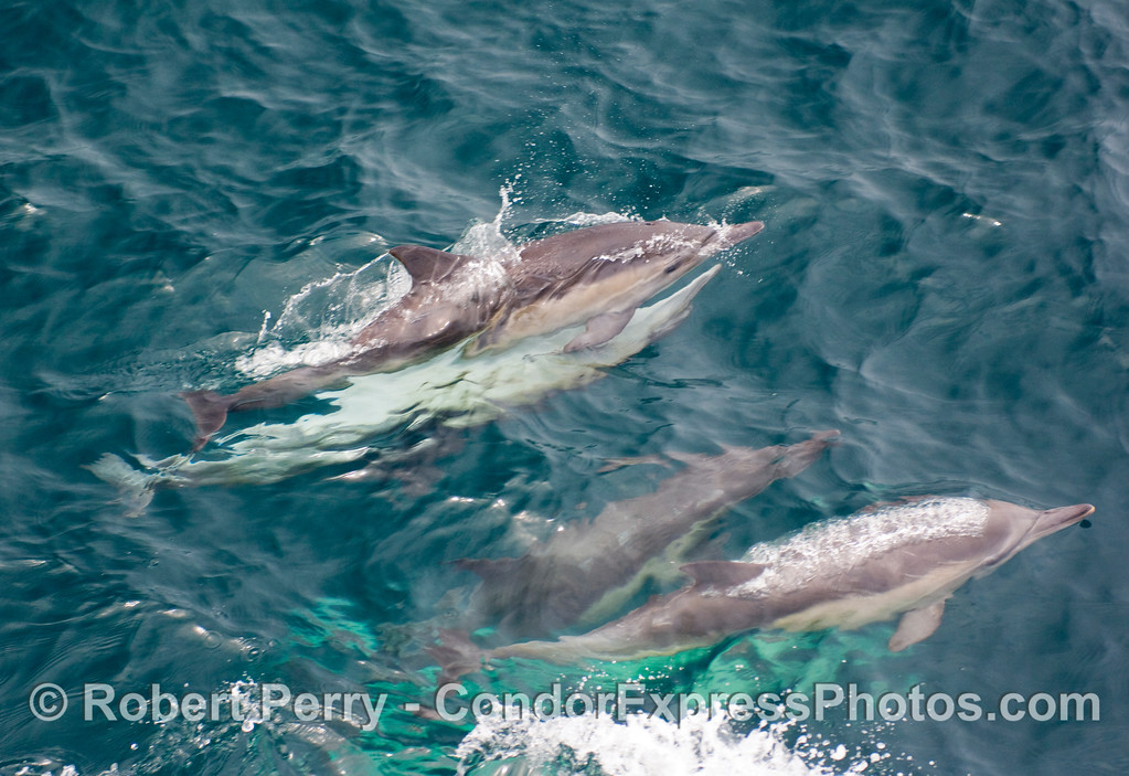 Image 2 of 2:  Common dolphin, Delphinus capensis, mating (top pair).