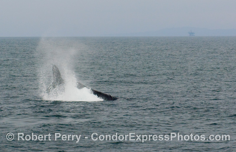 Image 3 of 3:  Humpback Whale, Megaptera novaengliae, tail throwing sequence.