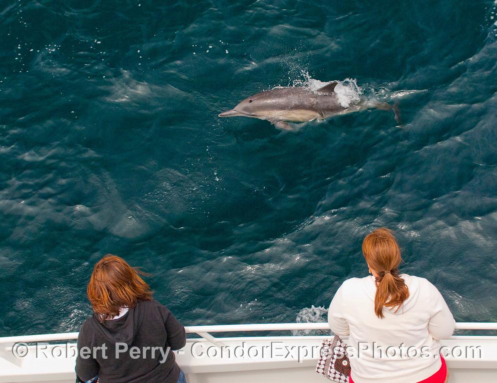Common dolphin, Delphinus capensis, entertains the passengers.