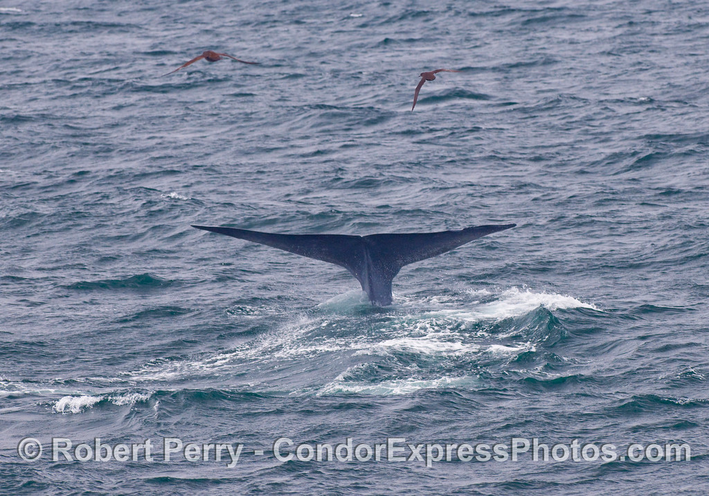 Tail fluke of a Blue Whale, Balaenoptera musculus, as it begins a deep dive in search of krill.  The birds above the whale are Sooty Shearwaters, Puffinus griseus.