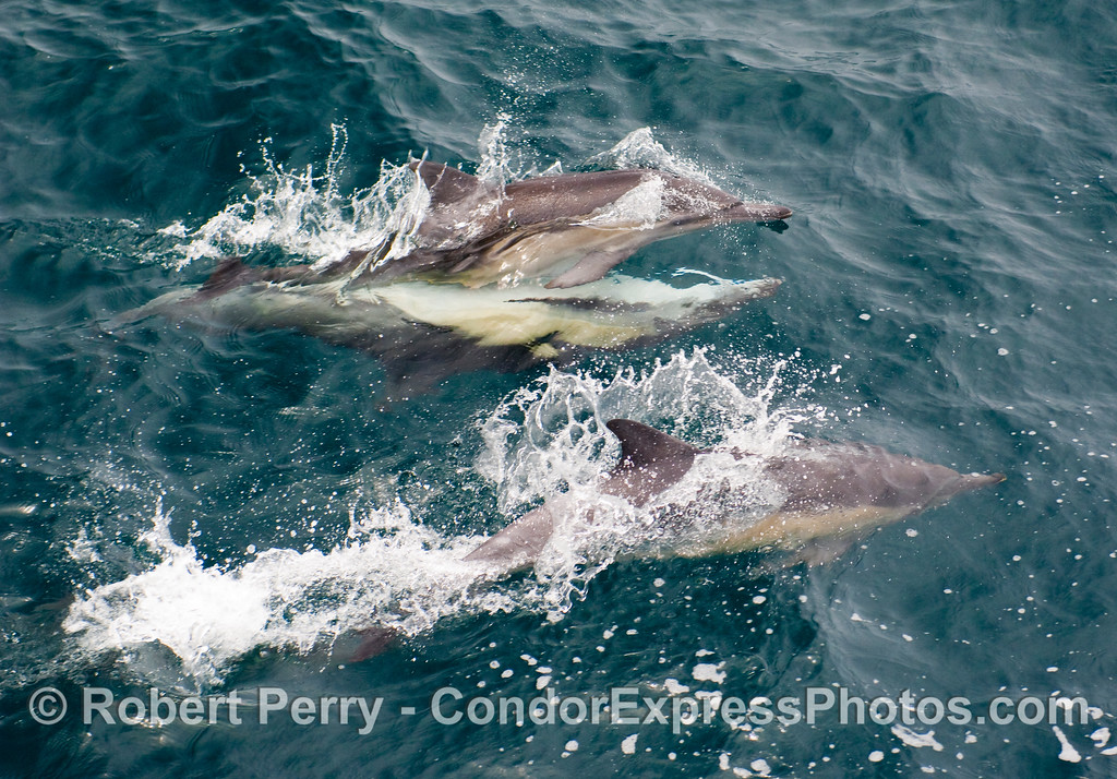 Image 1 of 2:  Common dolphin, Delphinus capensis, mating (top pair).