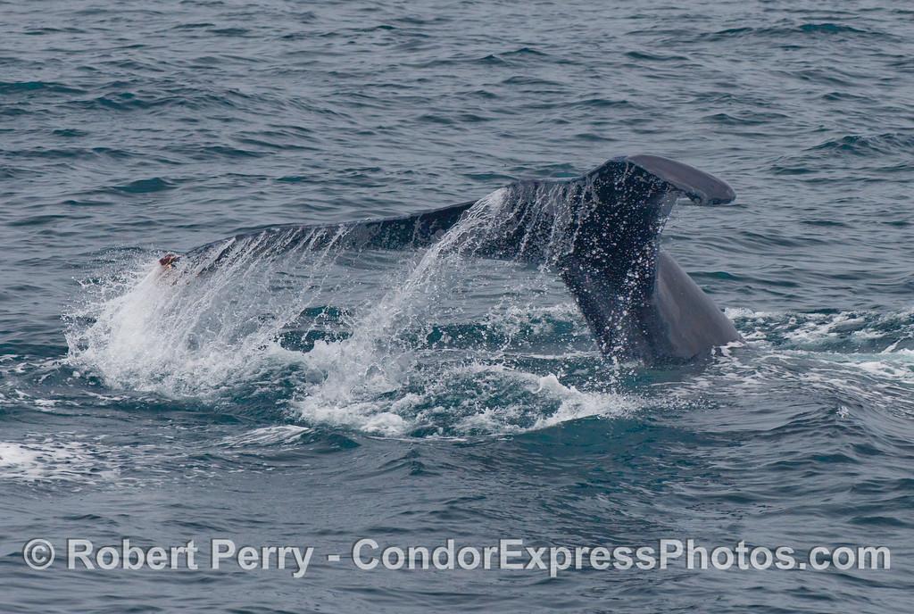 Humpback Whale, Megaptera novaengliae, tail fluke.