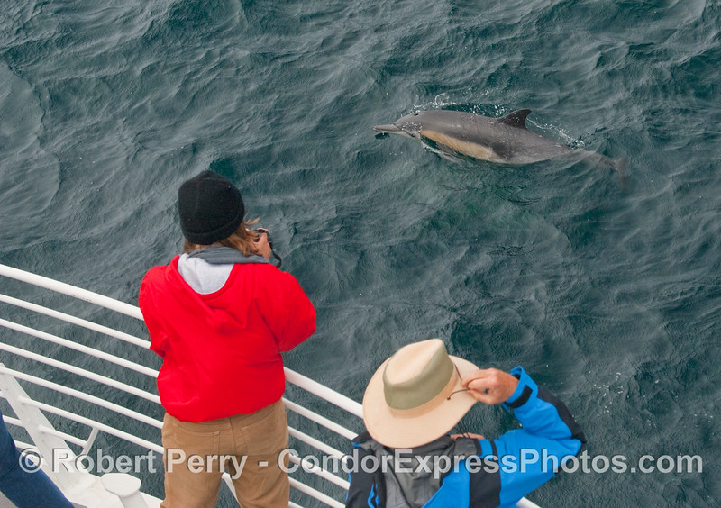 Common Dolphin puts on a show for passengers on the Condor Express (Delphinus capensis).