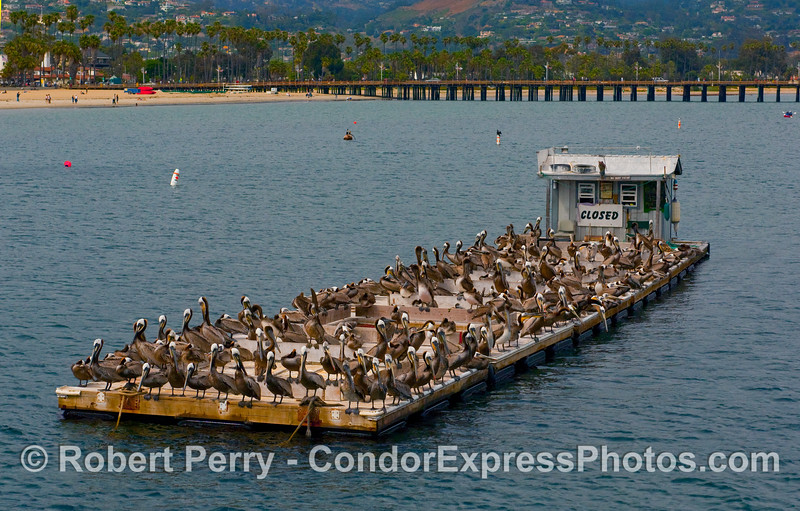 The bait barge inside Santa Barbara Harbor is closed....but don't tell the Brown Pelicans (Pelecanus occidentalis).