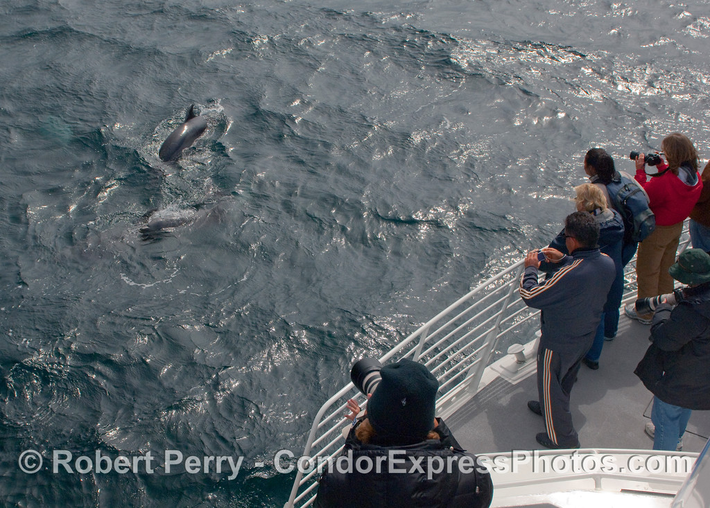 Passengers get out their cameras for some close Common Dolphins (Delphinus capensis).