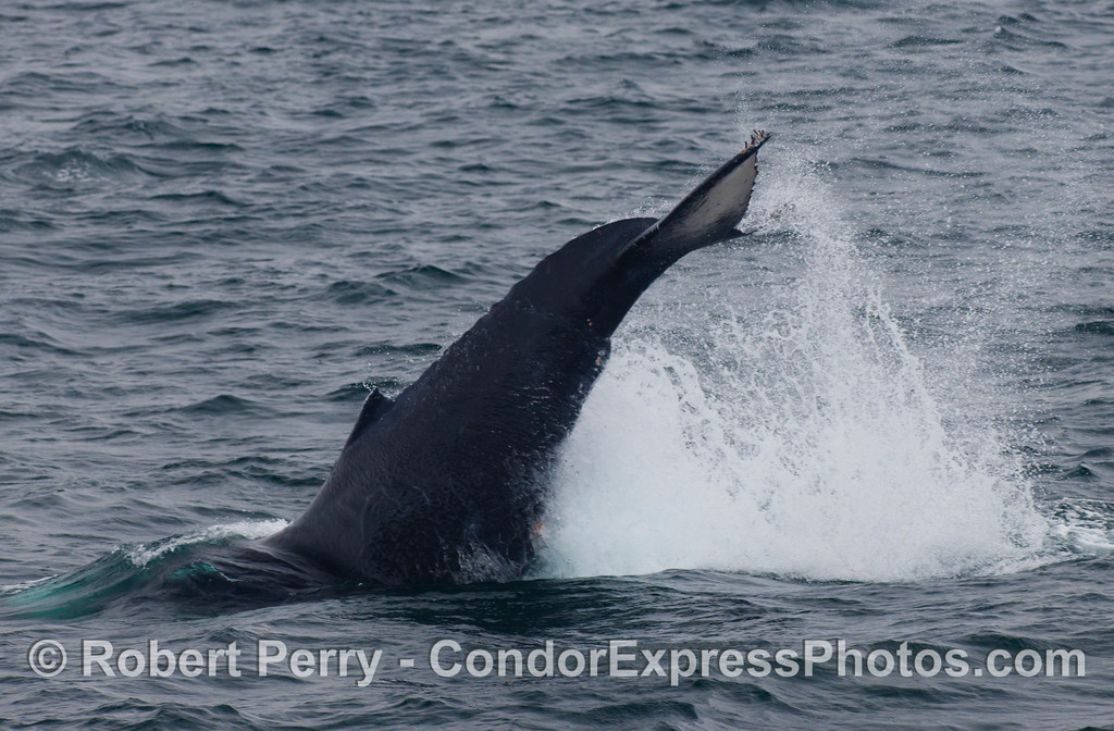 A mighty lob-tail from a Humpback Whale (Megaptera novaengliae).