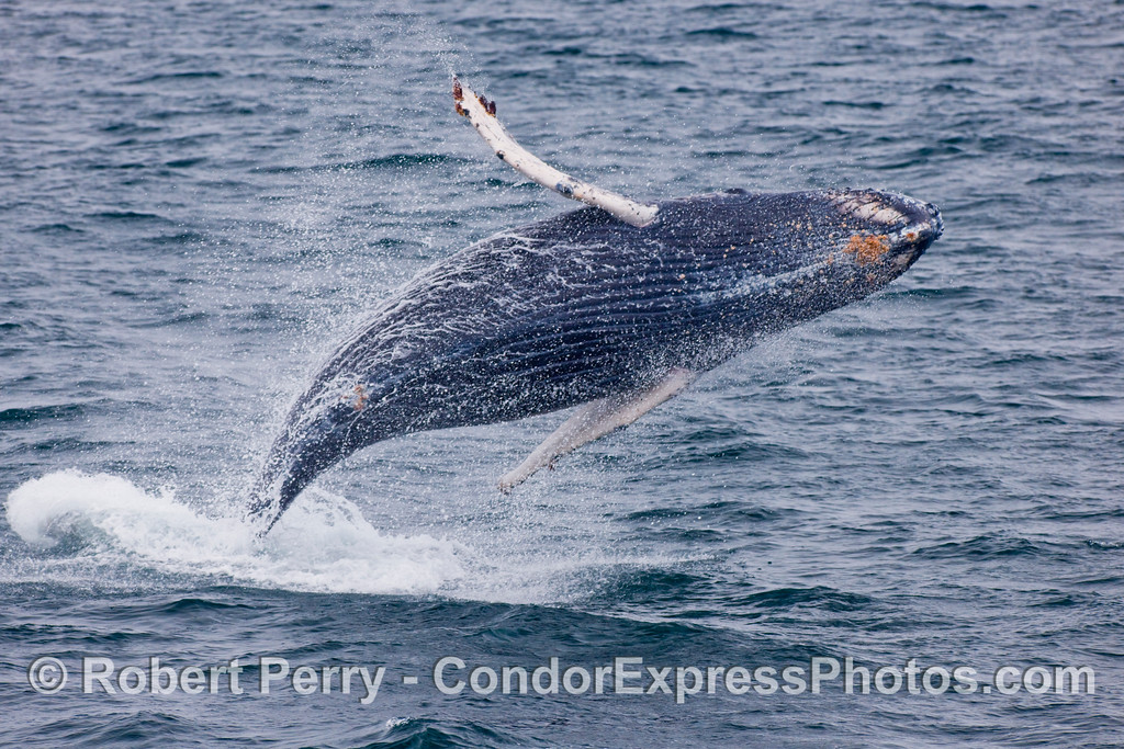 Juvenile behavior - a young Humpback shows off (Megaptera novaengliae).