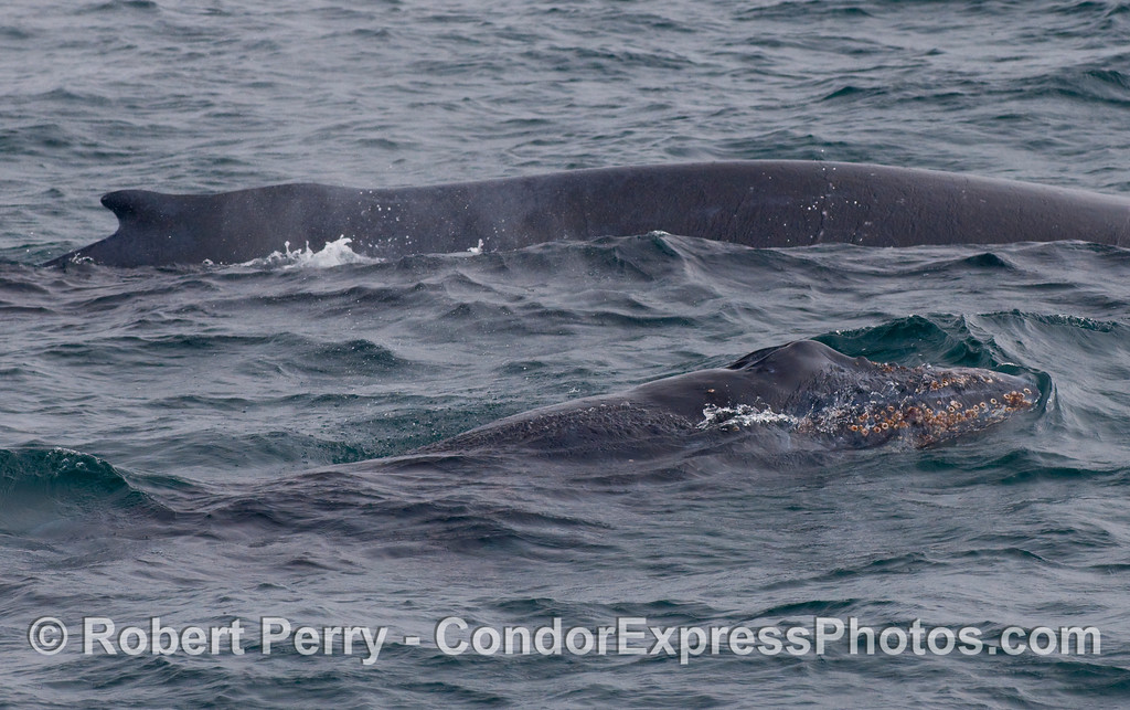 Humpback Whales - a cow and her calf (Megaptera novaengliae).