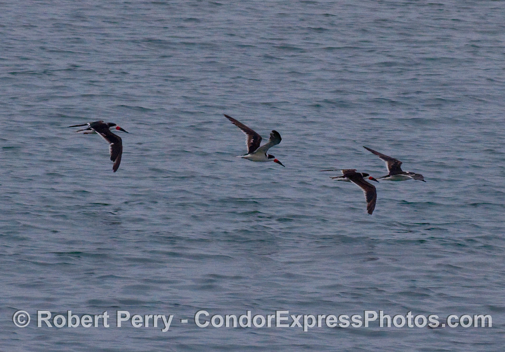 Four Black Skimmers cross the bow of the Condor Express (Rynchops niger).