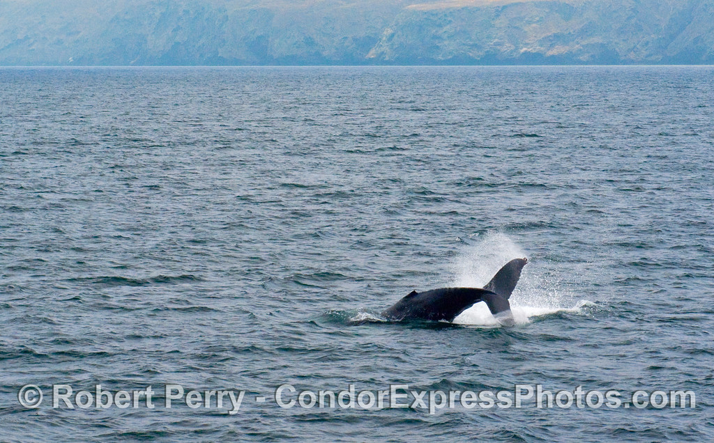 Image 2 of 2:  Humpback Whale tail-throw sequence with Santa Cruz Island in back.  (Megaptera novaengliae).
