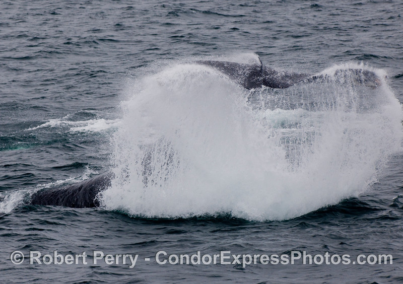 Tail-throw by a Humpback Whale (Megaptera novaengliae).