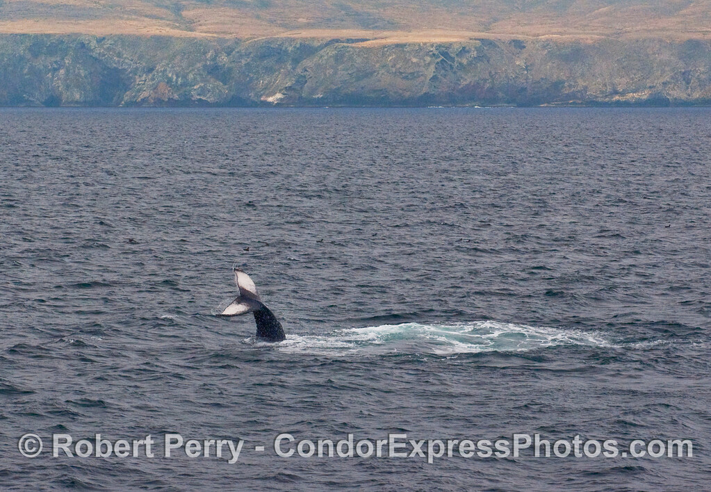 Wide-angle view of a juvenile Humpback Whale (Megaptera novaengliae) lob-tailing near Santa Cruz Island.