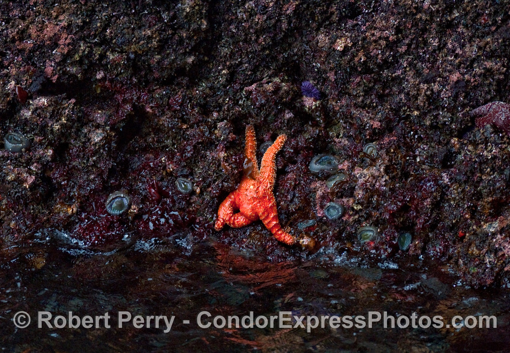 A bright orange ochre star (Pisaster ochraceus) clings the the rock wall in the entrance to the Painted Cave on Santa Cruz Island.  Green aggregating sea anemonies (Anthopleura elegantissima), various types of intertidal red algae, and a Purple Sea Urchin (Strongylocentrotus purpuratus) can also be seen in the neighborhood.