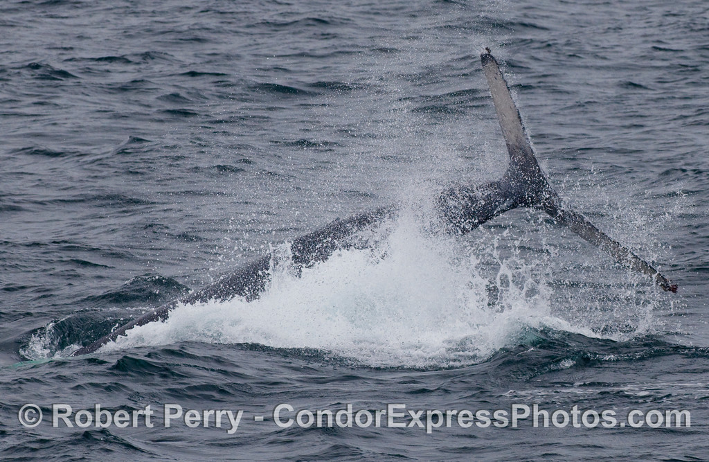 Lots of lob-tailing and tail-throwing by this cow-calf pair of Humpbacks (Megaptera novaengliae).