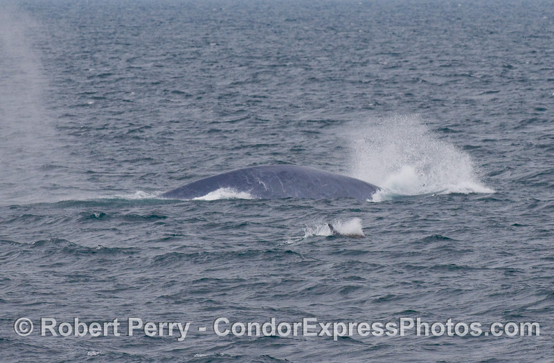 "Here we see an unusual ""racing"" behavior of a Blue Whale (Balaenoptera musculus) which is similar to a breach, but the whale does not get fully airborn.  Inside the big whale there is a Risso's Dolphin traveling alongside (Grampus griseus)."