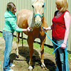 Jake, a 16 year-old quarter horse, receives a bath from Veronica Charlton, left, and her mom Janet. Warmer temperatures allowed Jake to dry out after at the equestrian centre at the Prince George Exhibition grounds. Citizen photo by David Mah