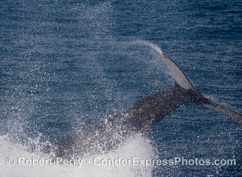Spray everywhere as this Humpback Whale (Megaptera novaengliae) throws its tail around.