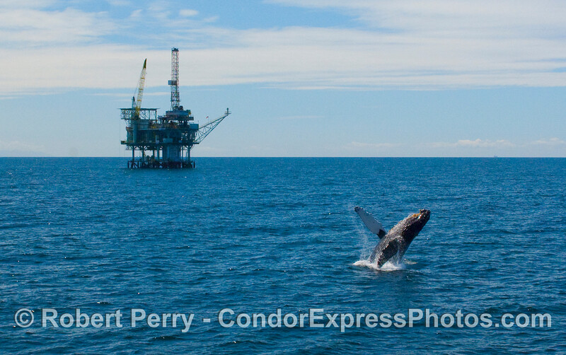A Humpback breaches (Megaptera novaengliae) with oil platform Henry in back.