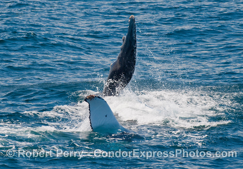 A rolling and frolicing Humpback Whale (Megaptera novaengliae), completely on its back with both pectoral fins waving in the air.  Havin' some fun!