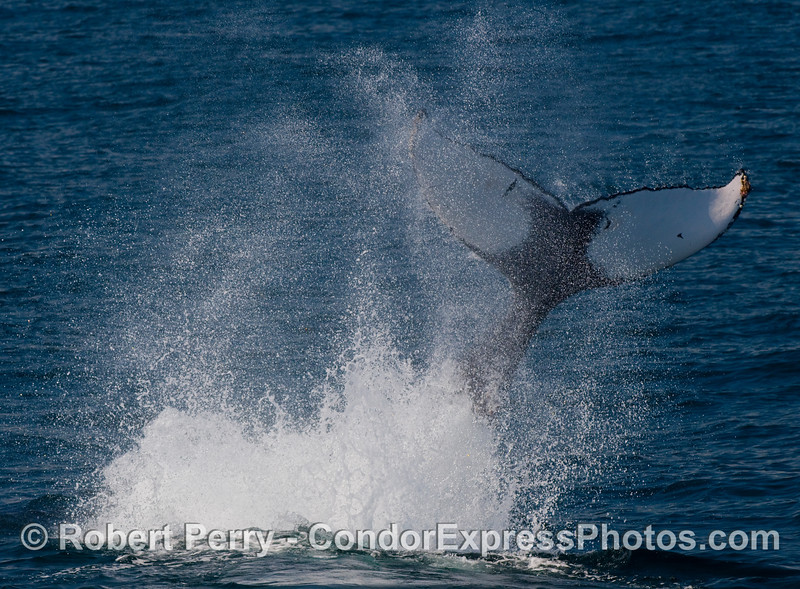 Spray, tail, and Humpback (Megaptera novaengliae).