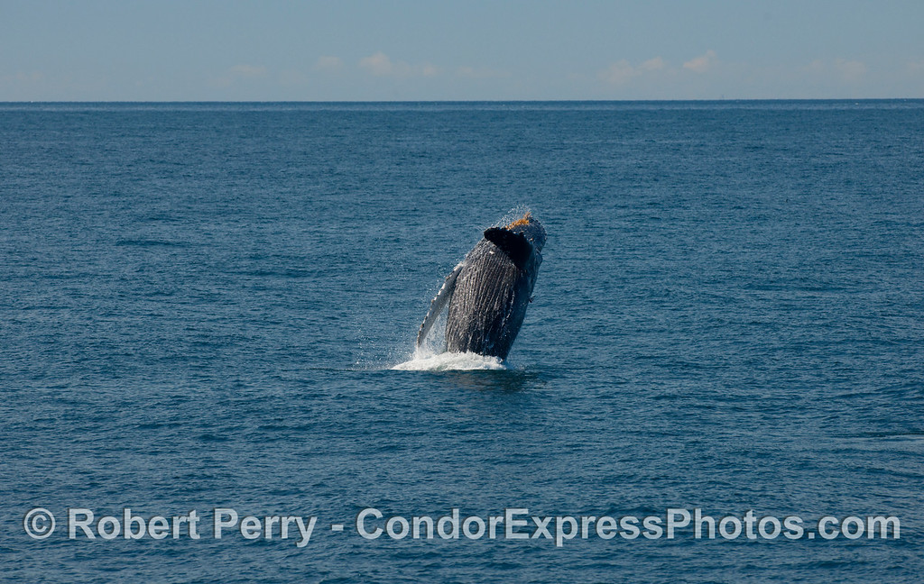 Humpback Whale, some distance ahead of the boat, begins its breach sequence (Megaptera novaengliae)...part three.
