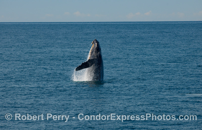 Humpback Whale, some distance ahead of the boat, begins its breach sequence (Megaptera novaengliae)...part two.