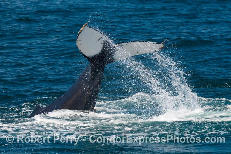 Lob-tailing Humpack Whale (Megaptera novaengliae).