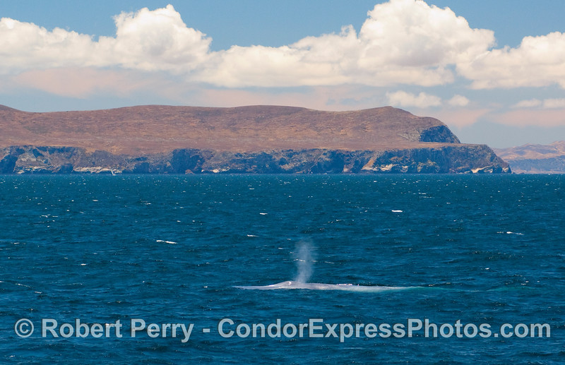 A might Blue Whale cruises near the West End of Santa Cruz Island  in the Santa Barbara Channel on a gorgeous day. (Balaenoptera musculus).
