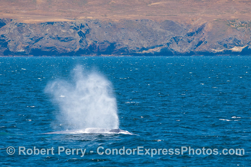 Heavy breathing 2 of 2 - Blue Whale (Balaenoptera musculus) along the north coast of Santa Cruz Island.