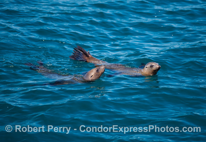 Two fun loving California Sea Lions (Zalophus californianus) visit the Condor Express.