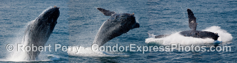 Humpback breach montage - a PhotoShop collection of three separate images - NOT 3 whales breaching at the same time!