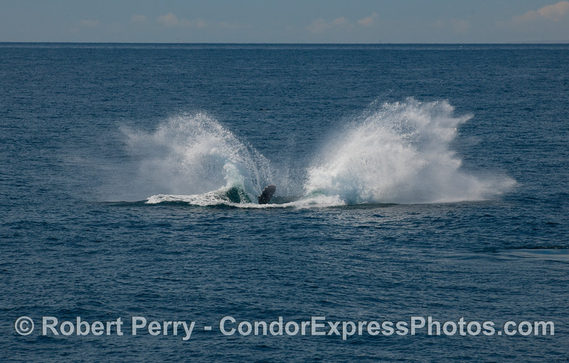 Humpback Whale, some distance ahead of the boat, begins its breach sequence (Megaptera novaengliae)...part five.