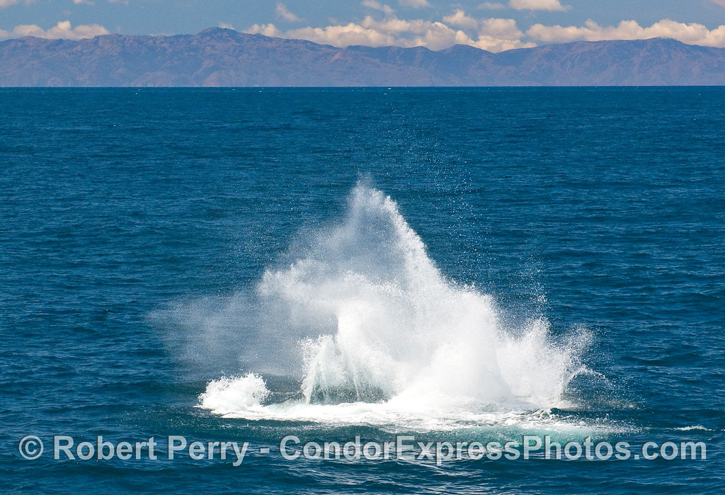 The mainland and Santa Ynez mountains can be seen in the background as this Humpback Whale frolics in the Santa Barbara Channel.  Here is sends up a big splash by throwing its tail flukes.  (Megaptera novaengliae).