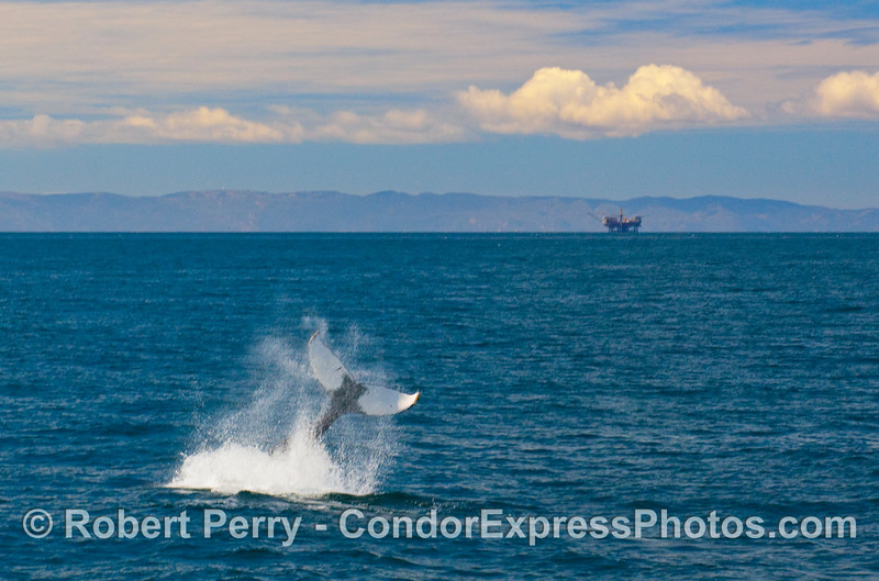 Tail throwing Humpback Whale (Megaptera novaengliae) with oil platform and mountains in the background.  A spectacular day to be a whale (or a human).