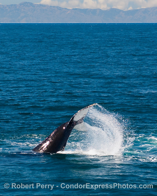 Power stroke - a Humpback pounds the water (Megaptera novaengliae).