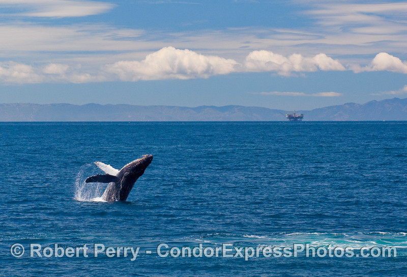 Panorama view of a Humpback Whale breaching in the Santa Barbara Channel. (Megaptera novaengliae).