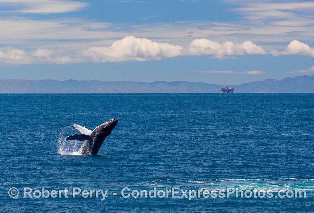 Panorama view of a Humpback Whale breaching in the Santa Barbara Channel. (Megaptera novaengliae).