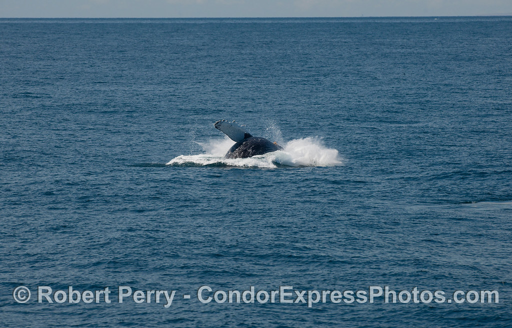 Humpback Whale, some distance ahead of the boat, begins its breach sequence (Megaptera novaengliae)...part four.