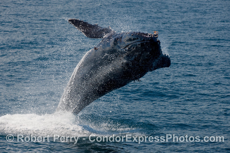 Humpback breach (Megaptera novaengliae) part 2.