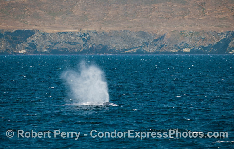 Heavy breathing 1 of 2 - Blue Whale (Balaenoptera musculus) along the north coast of Santa Cruz Island.