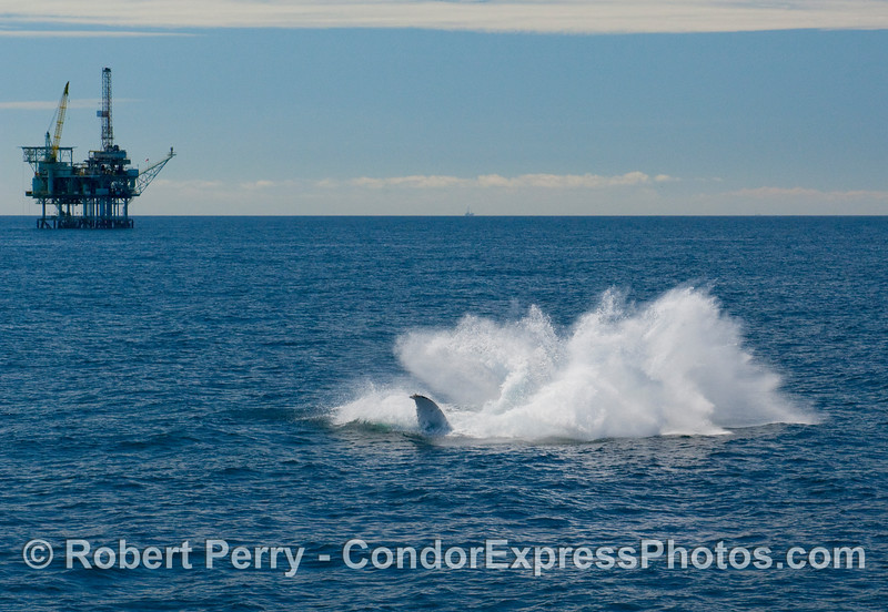 A Humpack Whale finishes off its full breach with a big splashdown.  (Megaptera novaengliae)