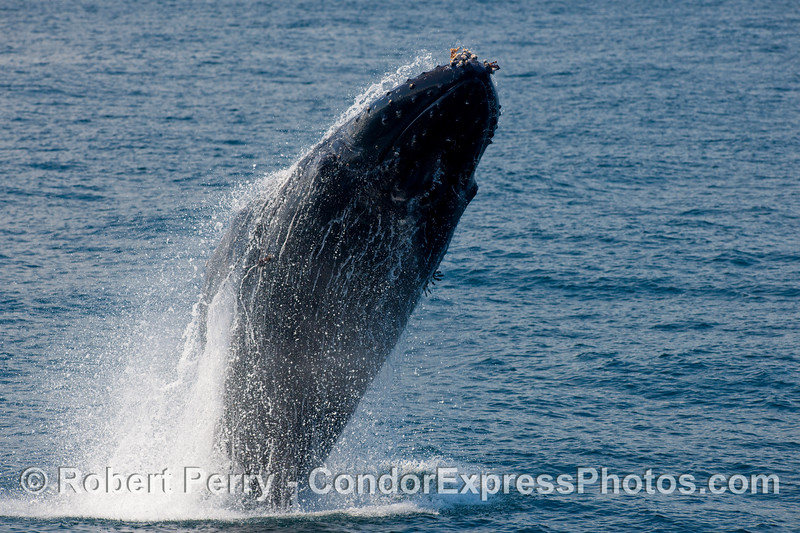 Humpback breach (Megaptera novaengliae) part 1.
