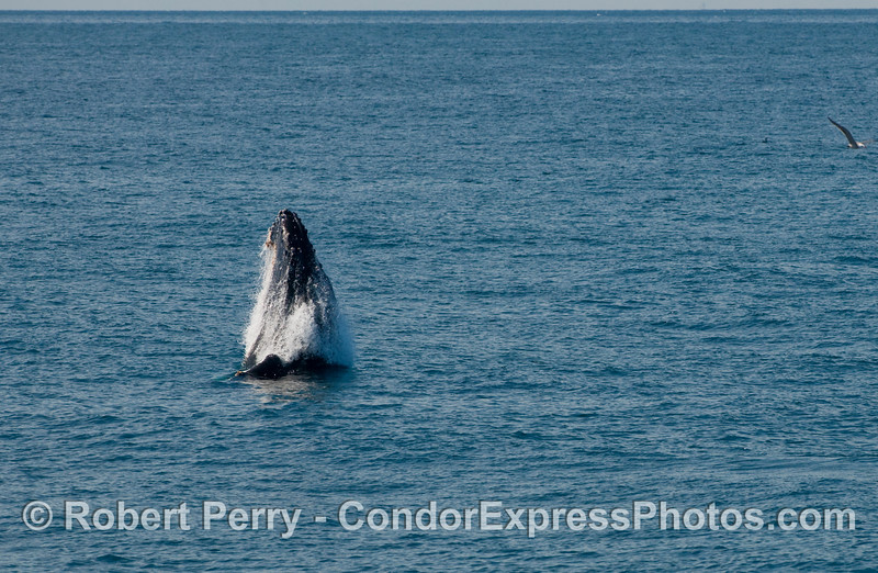 Humpback Whale, some distance ahead of the boat, begins its breach sequence (Megaptera novaengliae)...part one.