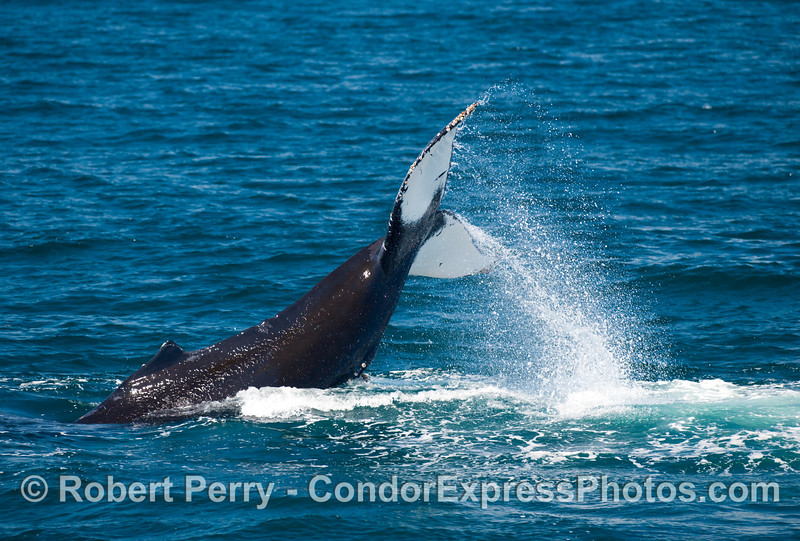 Powerful tail throwing - this Humpback Whale (Megaptera novaengliae) gets almost half of its body out of the water.